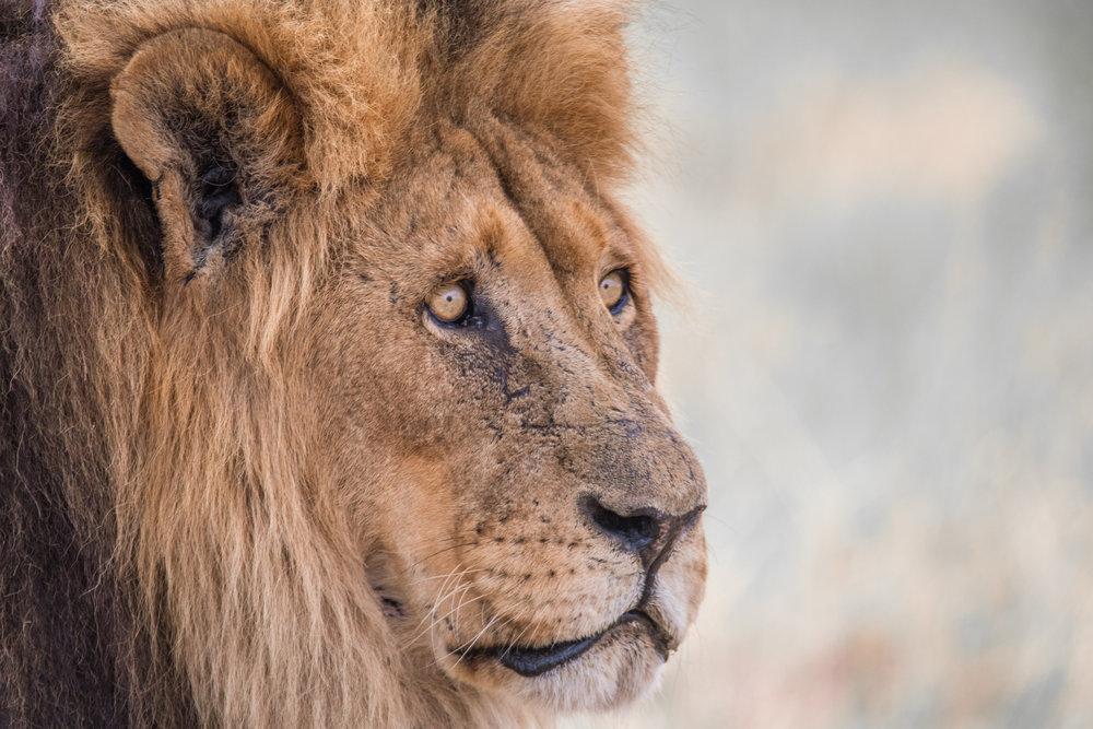 Lions-big-3.jpg