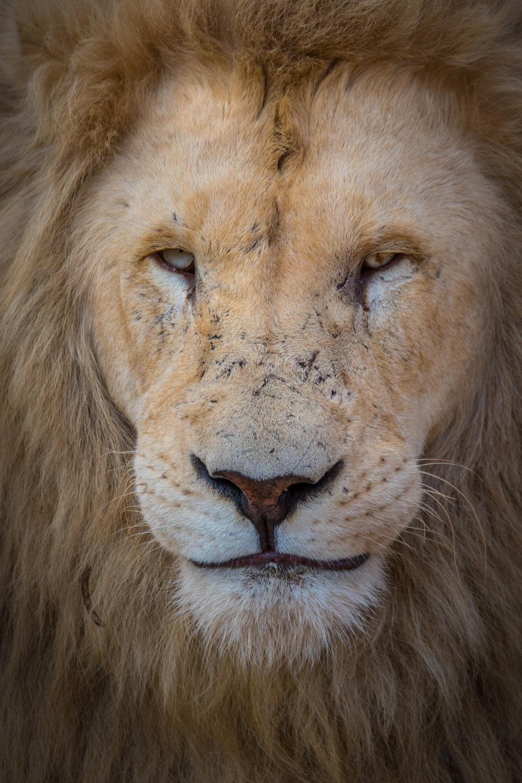Lions-big-5.jpg