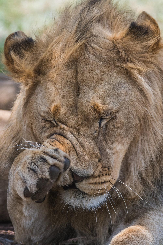 Lions-big-10.jpg