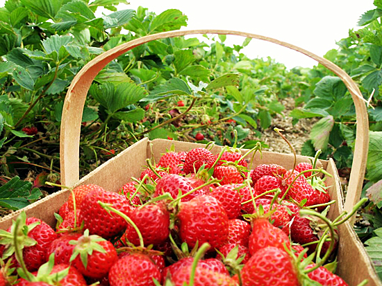 strawberry-picking-basket2.jpg