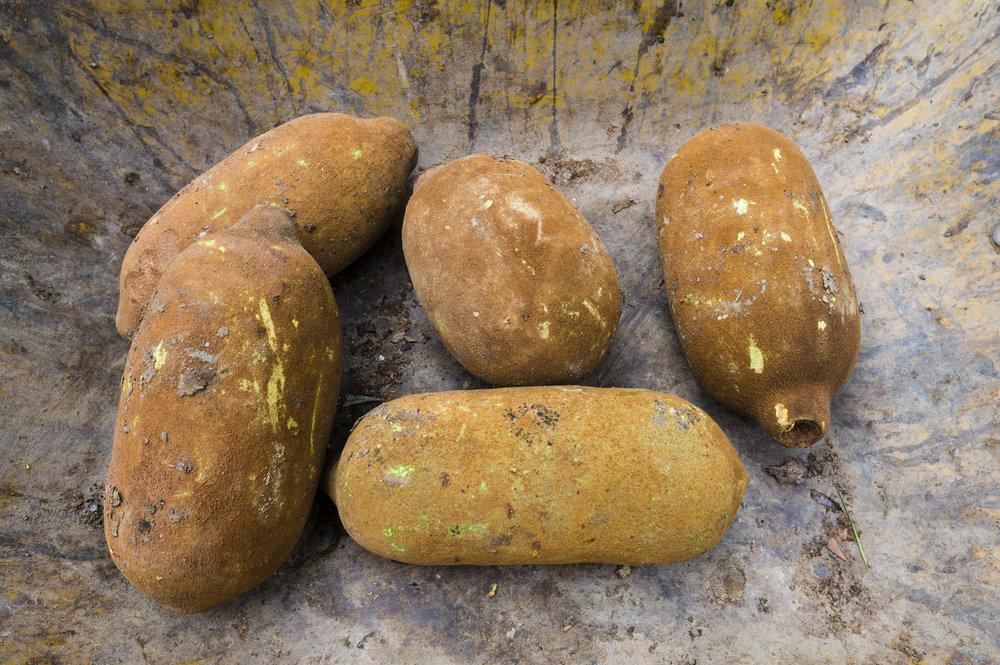 Las vainas de frutas de aspecto algo extraño de copoazú son extremadamente aromáticas y están cubiertas de pelusa café.