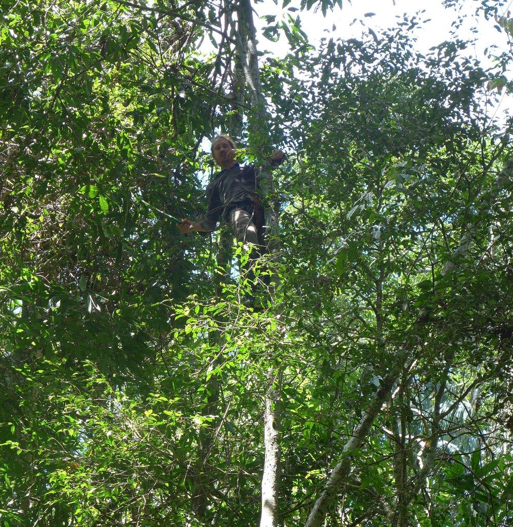 Un voluntario de Camino Verde trepa a un árbol joven de canelón para cosechar ramas y hojas.