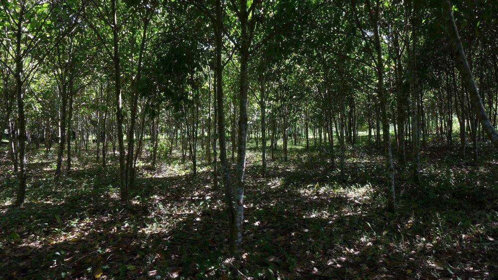 El Banco Viviente de Semillas es una chacra en funcionamiento compuesta por sistemas agroforestales productivos, un modelo tangible