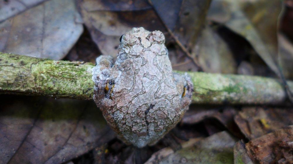 La vida silvestre abunda en nuestra plantación forestal de Moena en Tambopata, Perú