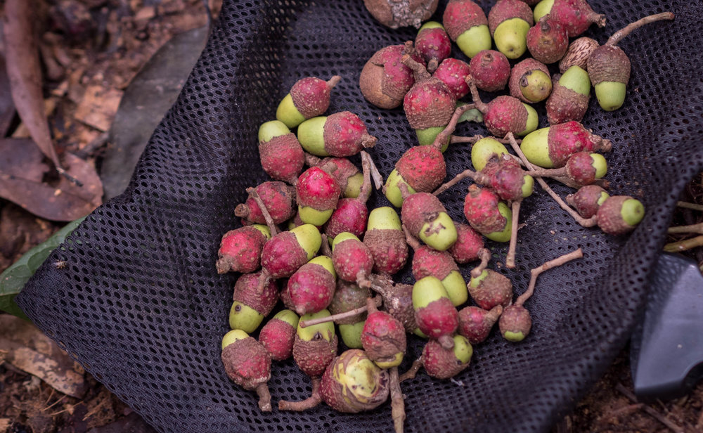 Semillas de Canelón cosechadas en 2016.