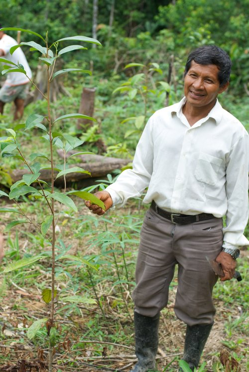 Uno de los productores de palo de rosa de Brillo Nuevo con uno de sus árboles de palo de rosa de 16 meses. Foto gracias a Andrew Schwarz