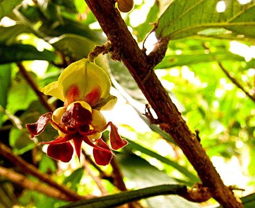 Las flores de copoazú le otorgan el nombre científico  grandiflora .