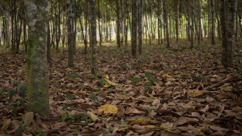 El Moenal - el área de reforestación de la Moena Alcanfor.