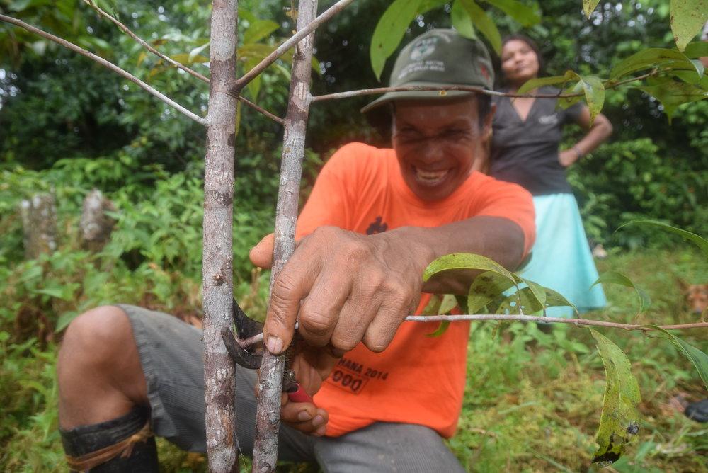 Un granjero de palo de rosa de bora poda sus árboles, ahora tiene 3 años.