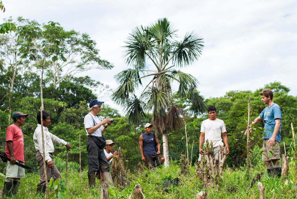 Una palmera de aguaje se eleva sobre una parcela agroforestal plantada recientemente. Muchas comunidades nativas protegen las palmeras de aguaje y fomentan la regeneración natural de la especie.