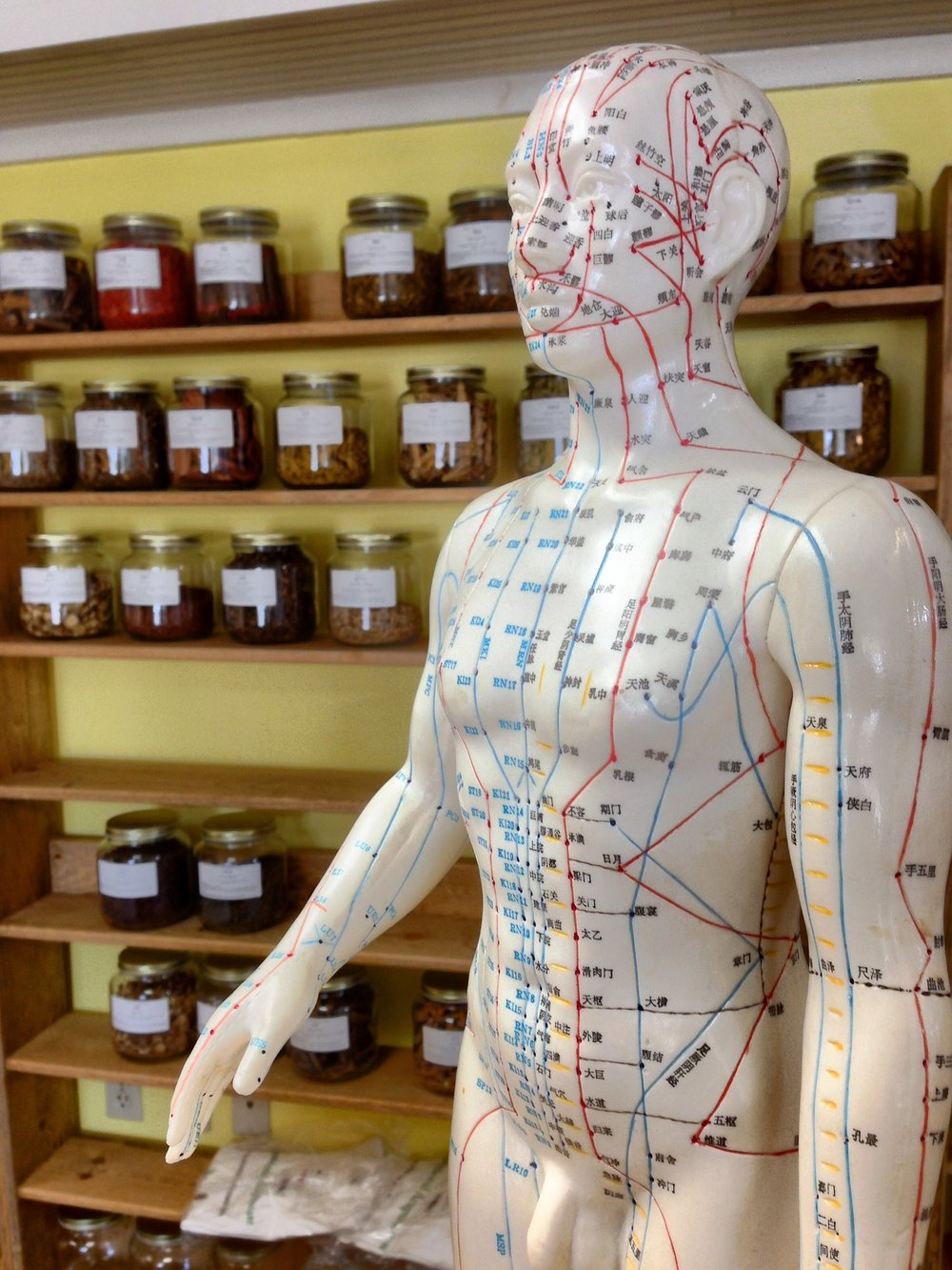 A human model showing the pathways of Acupuncture meridians