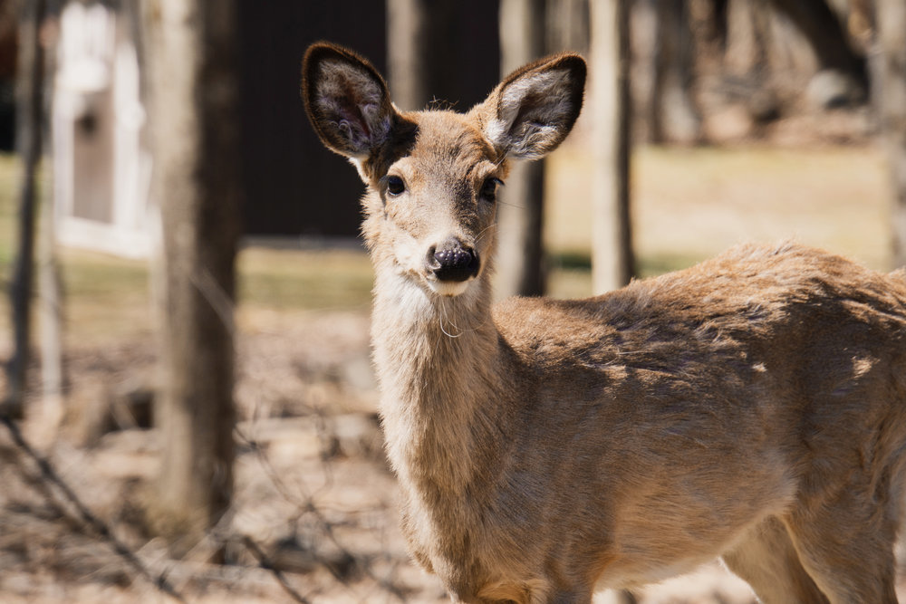 Deer expresses the skill of Listening ( Tīng  聽)