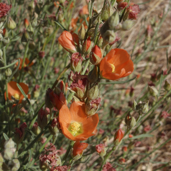 Sphaeralcea-leptophylla-F_0.jpg