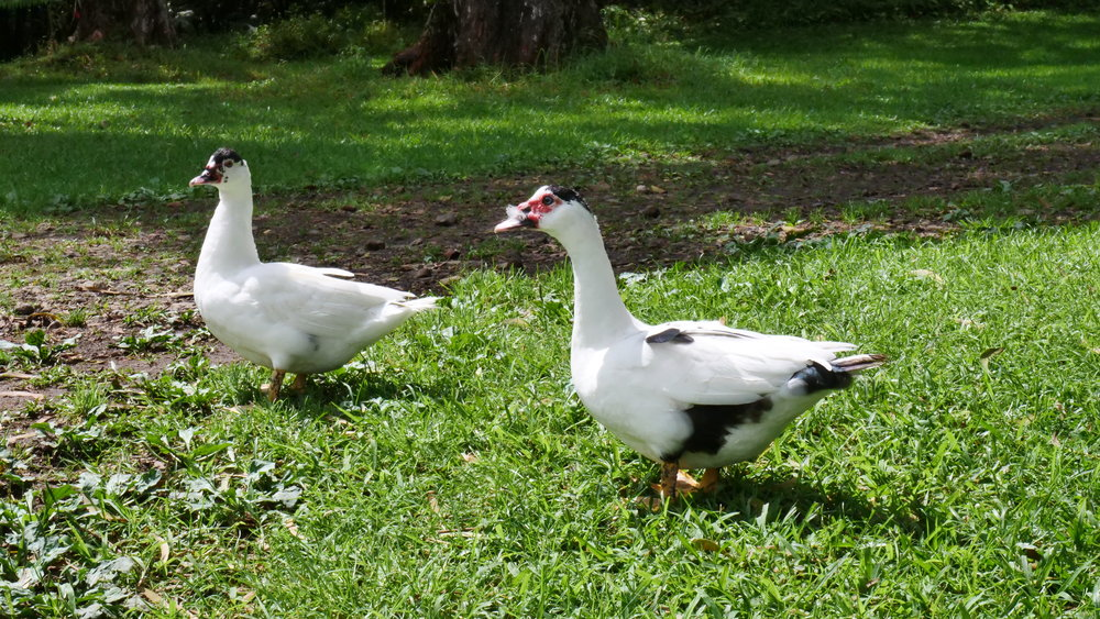 Ducks - Tottanka and Tiitti (left to right, female/male) are our Muscovy Ducks. They are quite fun to watch as they waddle around and steal food from the chickens. They are both young, but we hope to get duck eggs from Tottanka soon.