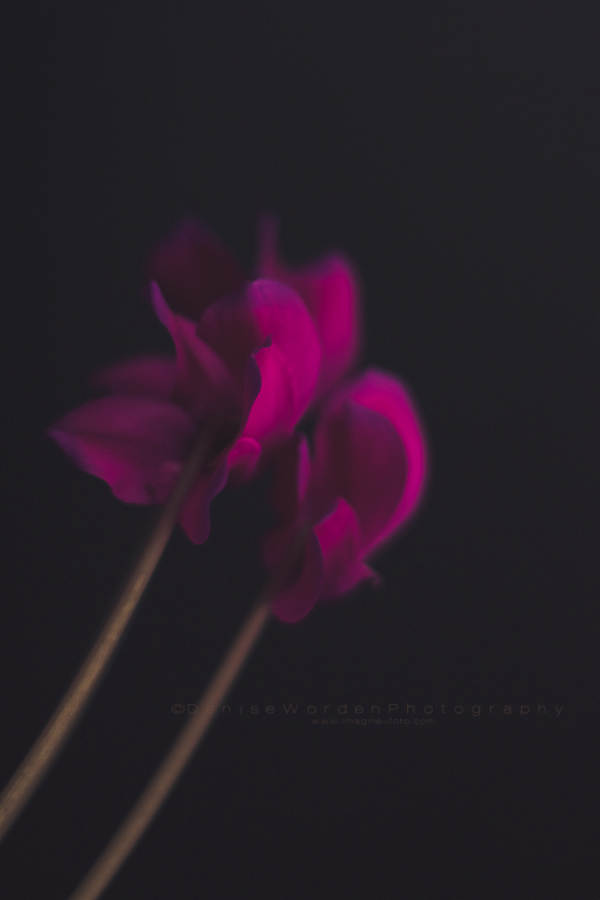 cyclamen-blooming-in-winter-2014