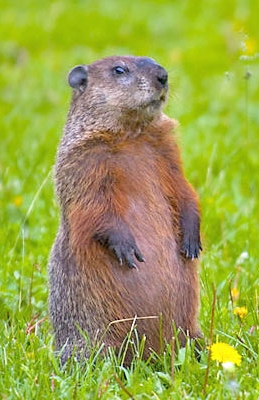 Stately-Groundhog.jpg