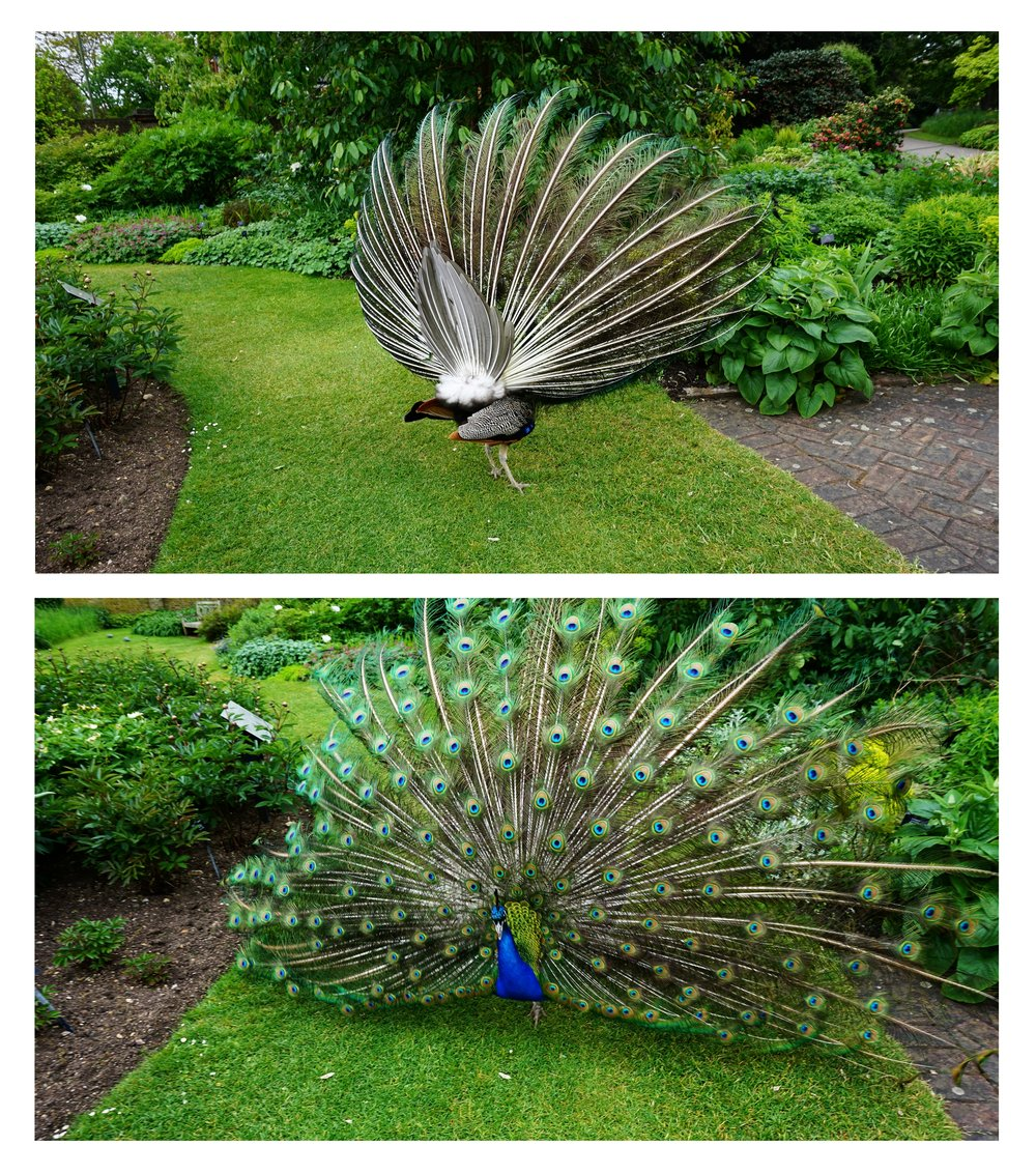 peacock on the attack,england - Kew Gardens, west of London, is home to an alarming number of aggressive fowl.