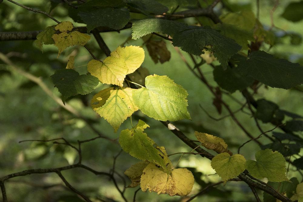 Lime leaves turning, September 2018