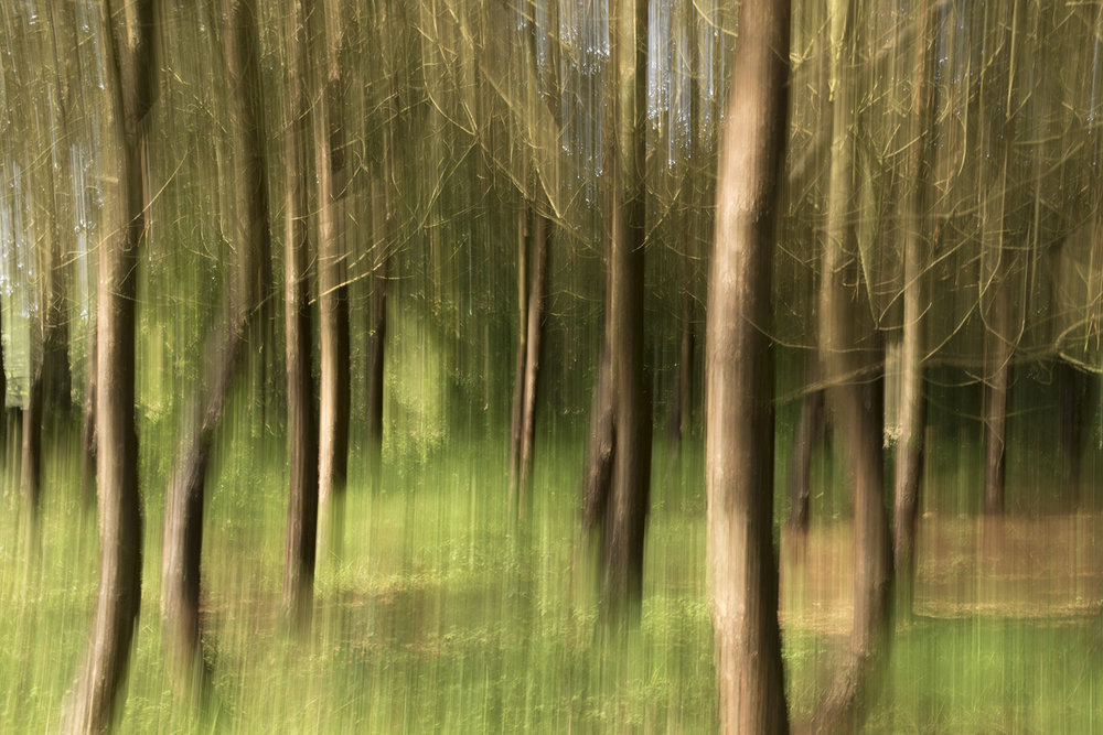 Scots Pines ( Pinus sylvestris) , September 2018