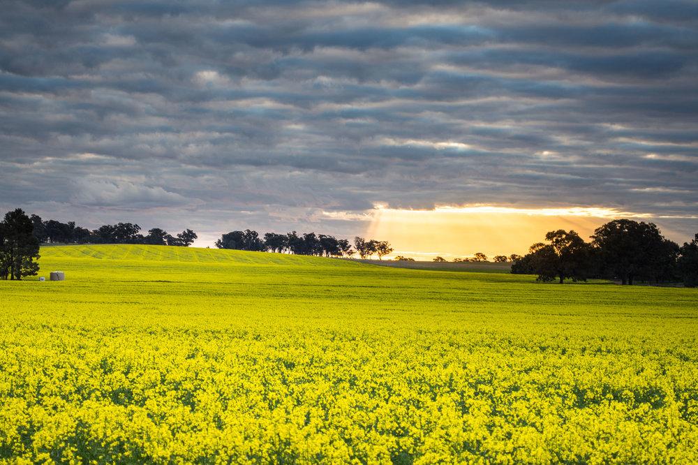 951---Fiona-Carthew-Landscape-Golden--Canola.jpg