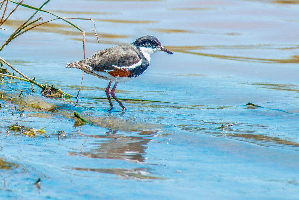 0192---'Lone-Diner---Coolamon-Wetlands',-Kerrie-Bulowski.jpg