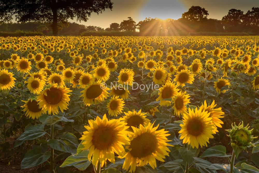 A sunflower sunset