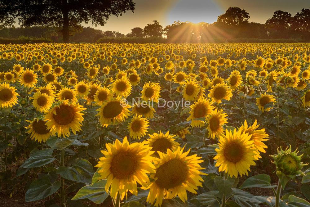 A sunflower sunset