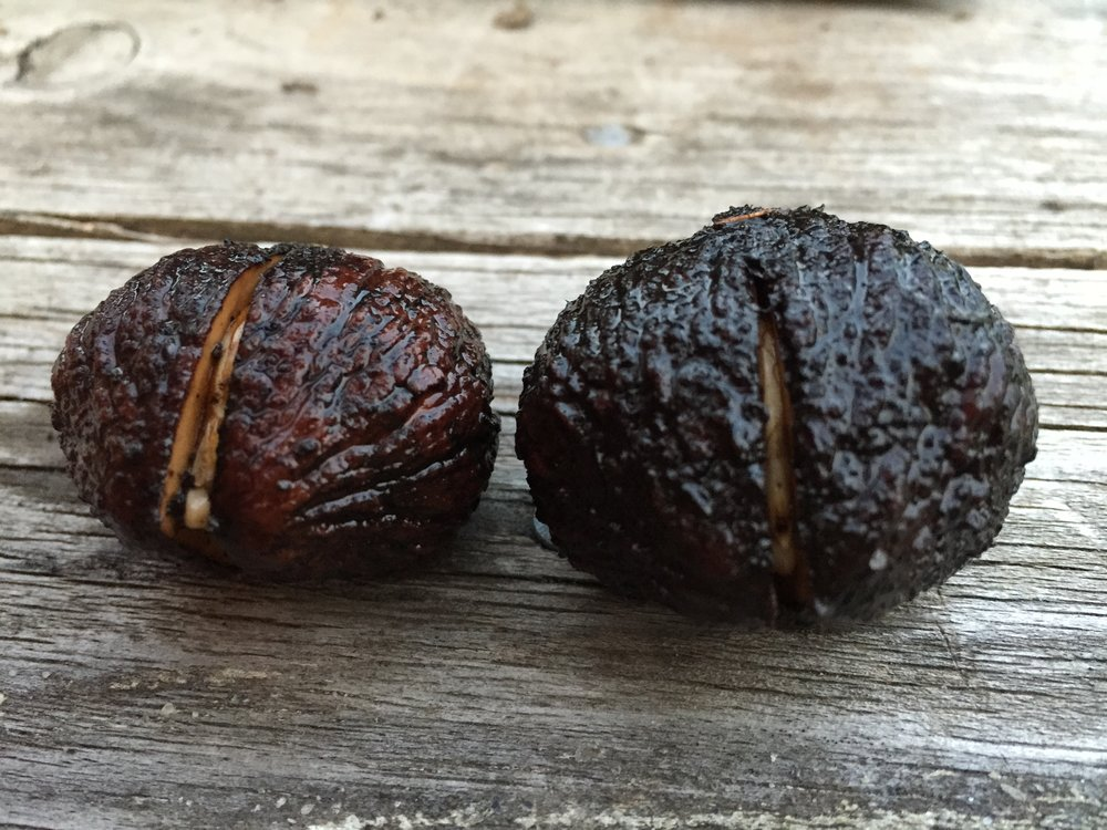 black walnuts germinating