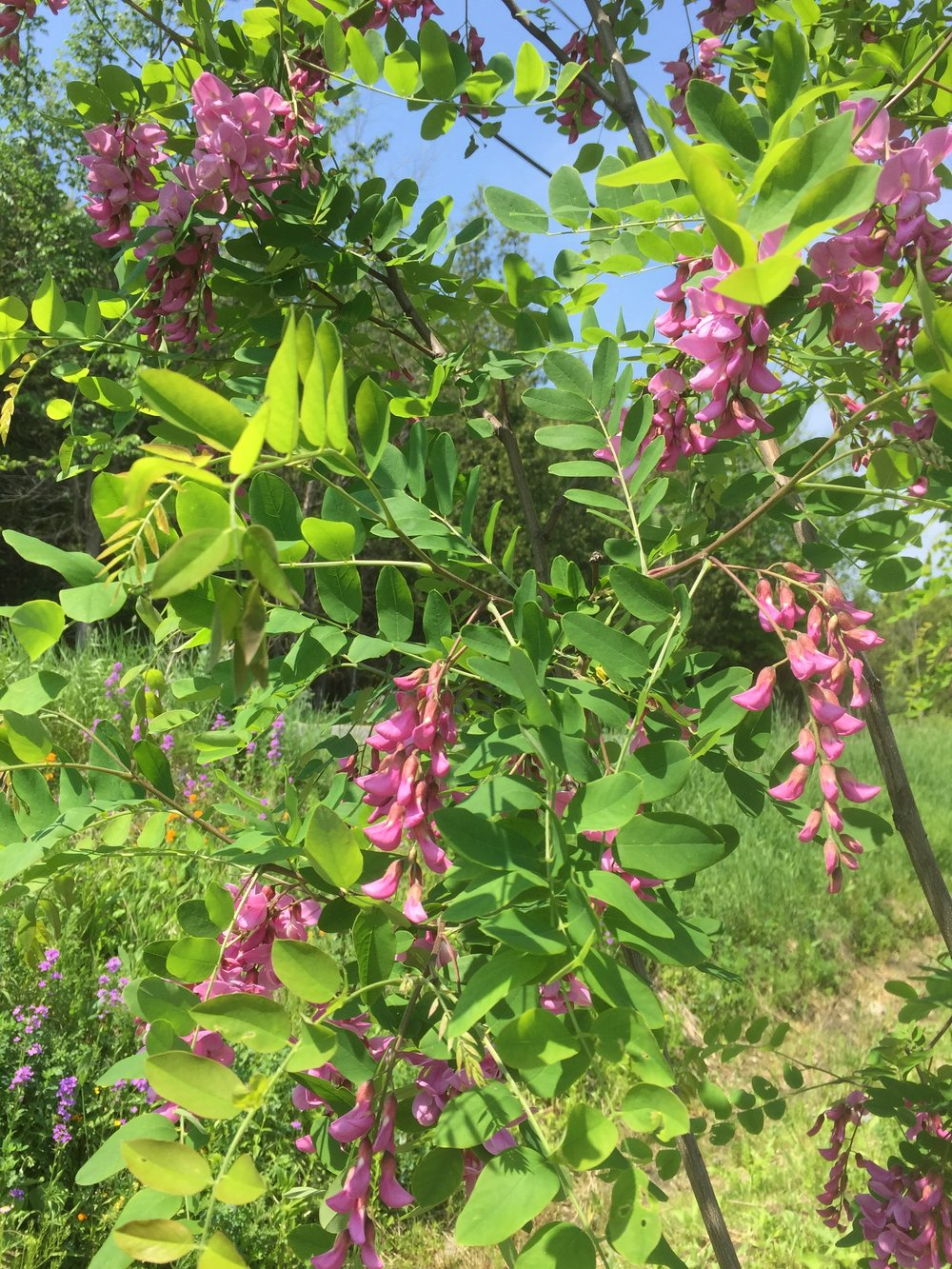 Purple Flowered Black Locust