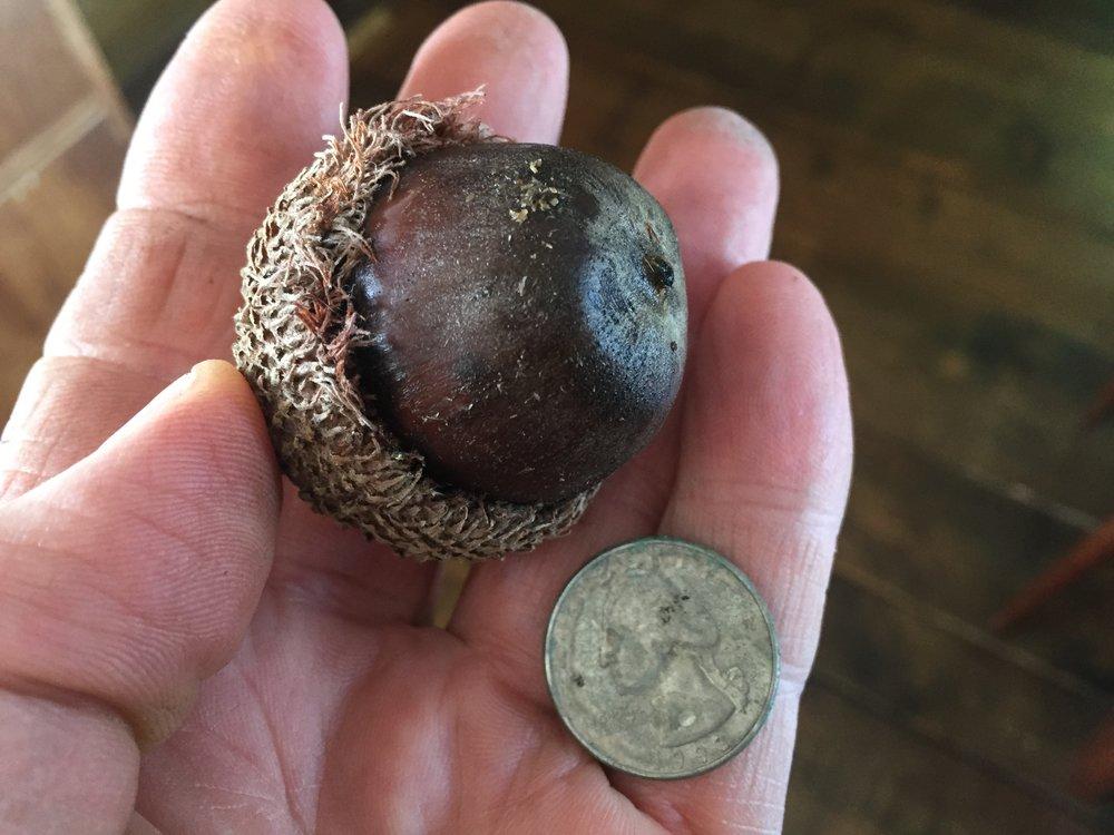 Giant Bur Oak Acorn