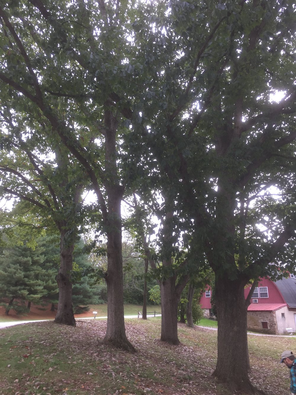 Knoll of Selected Oaks at Hershey Nursery