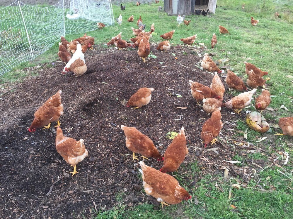 Happy Chickens-Beautiful Eggs - At Perfect Circle Farm, our 250 hens (and six roosters) are free to roam outside all day, every day, until they head into their coop at dusk. At our farm they get to express their chicken nature. They dust bathe, chase each other, nap in the sun, or in the shade, escape the fence sometimes and wander, eat bugs and weeds, and scratch in the soil.Our birds forage in their yard and are fed food scraps. Delivered twice a week, the food scraps contain a large variety of pre-and post-consumer foods previously destined for the landfill. The food scraps are collected locally from grocery stores and restaurants. Once they are delivered to our farm, we mix the food scraps with wood chips. The wood chips help control both odor and pests and begin the fermentation and composting processes that works with the chickens as they eat from the pile. The food ferments in the pile, just like sauerkraut. All chickens love food scraps and are very happy and healthy eating this way. And we don't need to use any grain.As the chip/food scrap blend ages, and the chickens are done searching for what they want to eat from this lovely chicken buffet, the food scraps/chip blend is removed to finished compost. The finished compost is applied to our nursery and garden beds. We will have some sale this year! We like to think of this as the