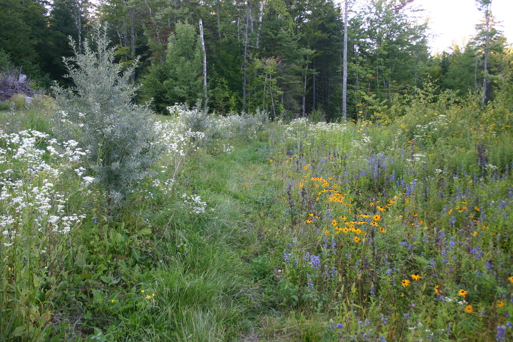"Seaberry row with native perennial ""weeds"", our plantings look like this by design"