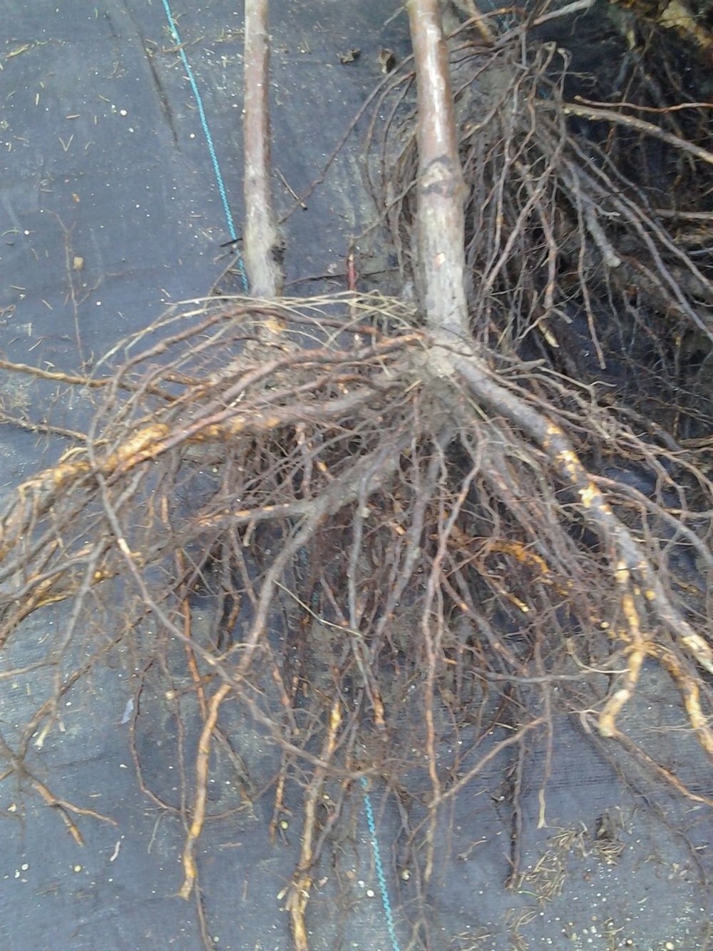 A typical root system on a grafted apple tree, pruned for transplanting