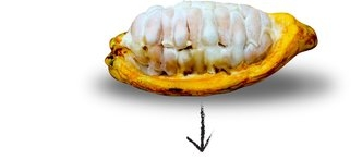 THE SEED OF CACAO IS AN INGREDIENT IN CHOCOLATE.