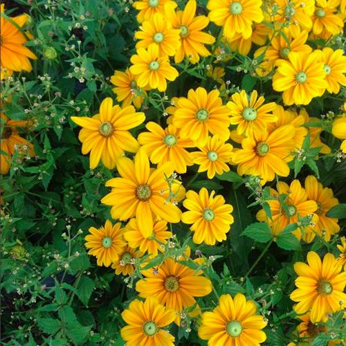 Growing Organic Cut Flowers