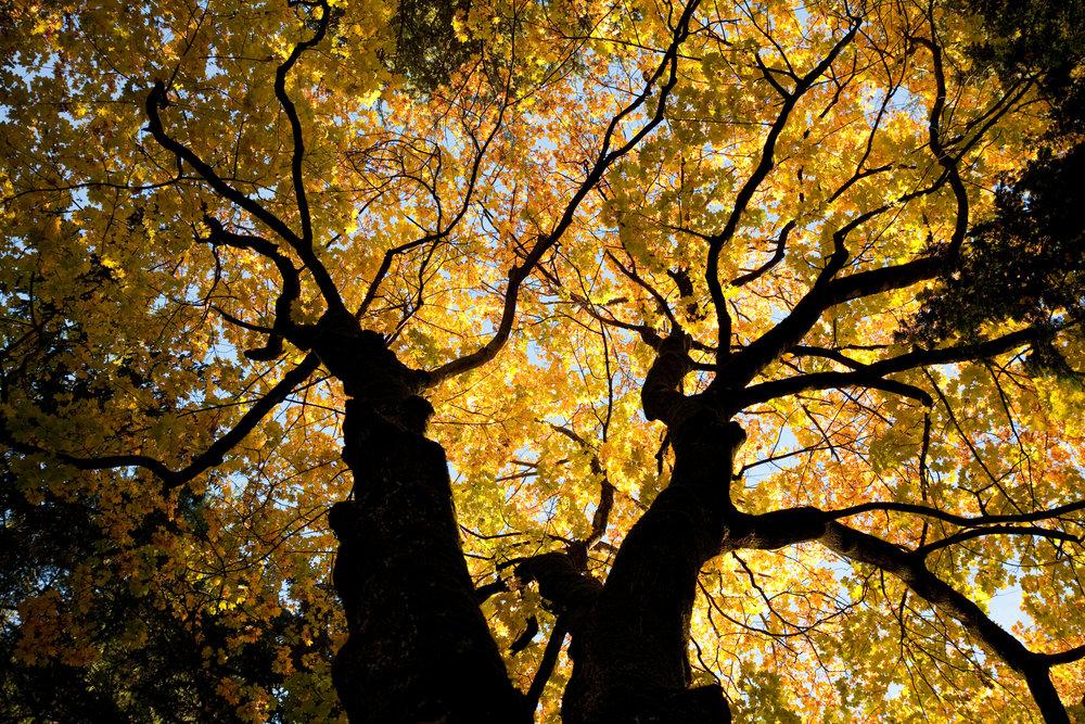luminous-oak-trees-in-fall-155131795_2125x1416-3.jpeg