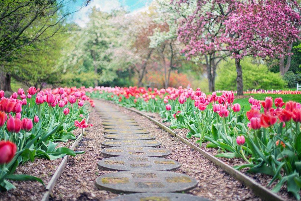 path - Tulips.jpeg