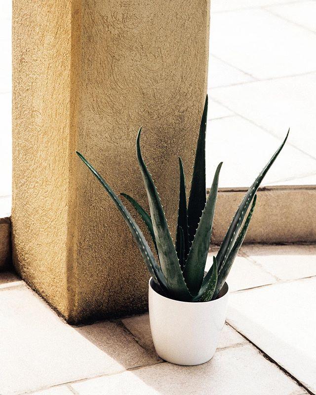 Aloe Vera, probably the best be... plant in the world 🍻🌱 _________________________________________ #stilllife #stilleben #france #summer #aloevera #2018 #verilymoment #nothingisordinary #travel #chasinglight #folkvibe #lovelysquares #tv_stilllife #plants
