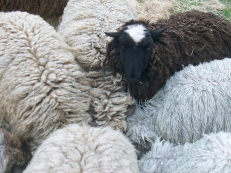 lambs-033 (1).jpg