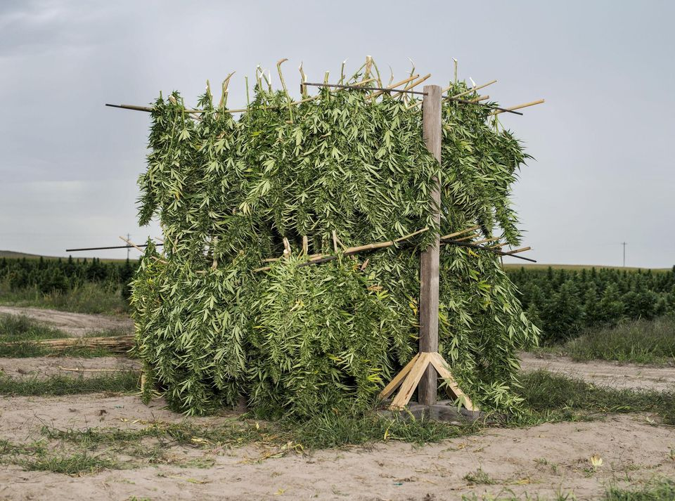 You can cultivate hemp but not cannabis