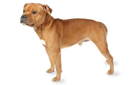 staffordshire-bull-terrier-2.jpg