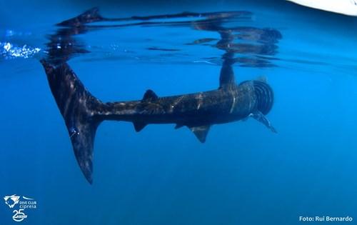 Le deuxième plus grand requin du monde aperçu au Portugal - Foto : Rui Bernardo