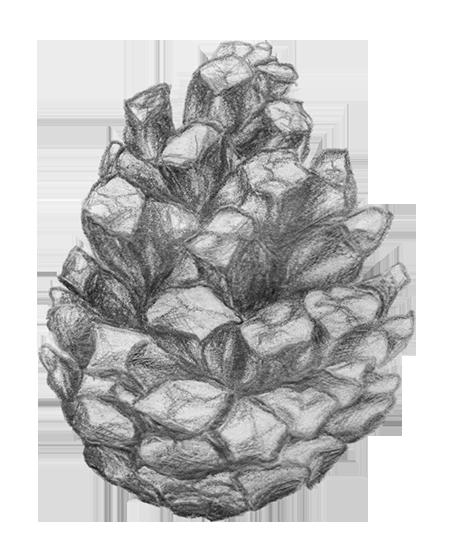 Kiefernzapfen kleiner.png