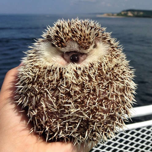 hedgehog2