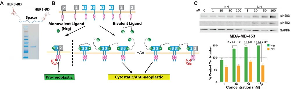 Overview of HER3 sequestration via multivalent ligands. (A) Schematic of a bivalent HER3 ligand identifying the key components: HER3-binding domains (HER3-BD) separated by a protease resistant spacer region. In this example, a bivalent protein consisting of 2 neuregulin-1β (Nrg) domains, which bind HER3 with high affinity, was purified to >98% as indicated by SDS-PAGE. (B) Multivalent HER3 ligands can be used to draw HER3 into non-productive HER3-HER3 homotypic interactions, contrary to HER3-HER2 interactions, which are proneoplastic and are prevalently stimulated in cancer by native, monovalent ligands such as Nrg. (C) In MDA-MB-453 breast cancer cells, monovalent Nrg stimulates phosphorylation of HER3 and HER2 in a dose-dependent manner leading to increased cell growth. Bivalent Nrg (NN) does not induce HER3 or HER2 phosphorylation and leads to decreased cell growth compared to control media conditions.