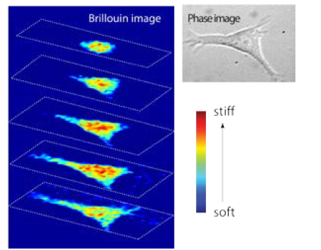 Brillouin stiffness map of a fibroblast. The high 3D resolution of Brillouin technology enables identifying a stiffer nucleus within an intact cell without contact or perturbations.