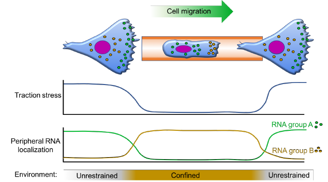 Schematic summarizing our hypothesis about RNA localization during tumor cell migration in unconfined versus confined spaces. RNA groups A and B represent distinct sets of RNAs that localize to the leading edge in unconfined or confined cells, respectively, depending on cell tension state. We hypothesize that these localization events functionally contribute to migration speed and persistence in the respective environments.