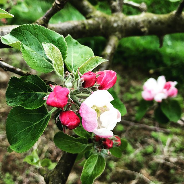 Blossom time is nearly here! Getting ready to collect pollen for our breeding programme #britishgrown #applebreeding #pollencollection #scionfruits #thenextgeneration #hurryupspring