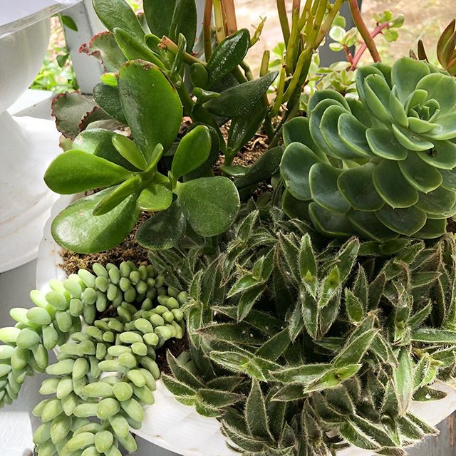 Sunday's succ... 😉  #succulents #plantsmakepeoplehappy #plantsofinstagram